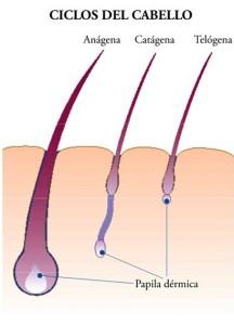 Alopecia y caída del cabello y su ciclo de vida